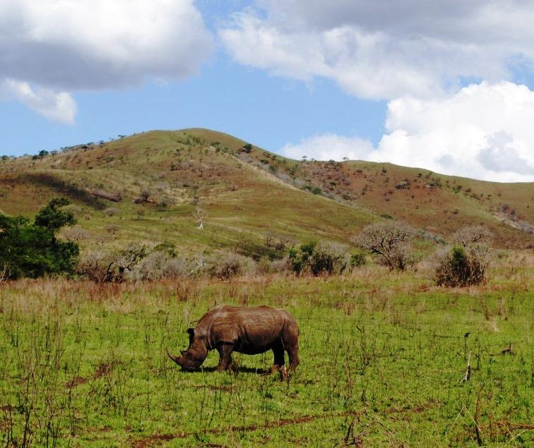 Rhino-in-Hluhluwe