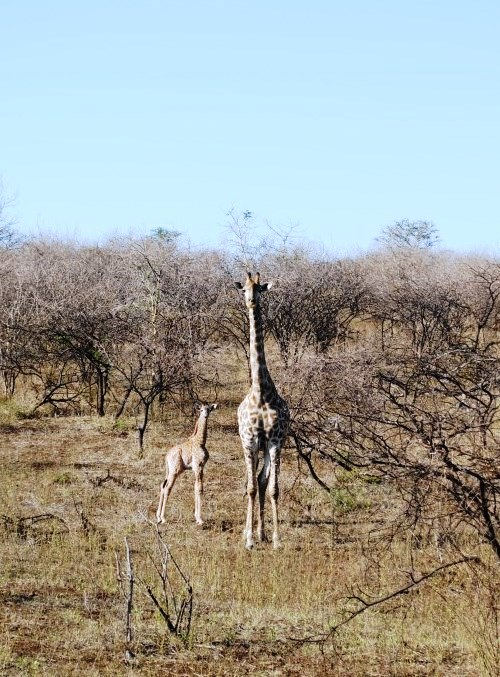 Week-old-giraffe-mom