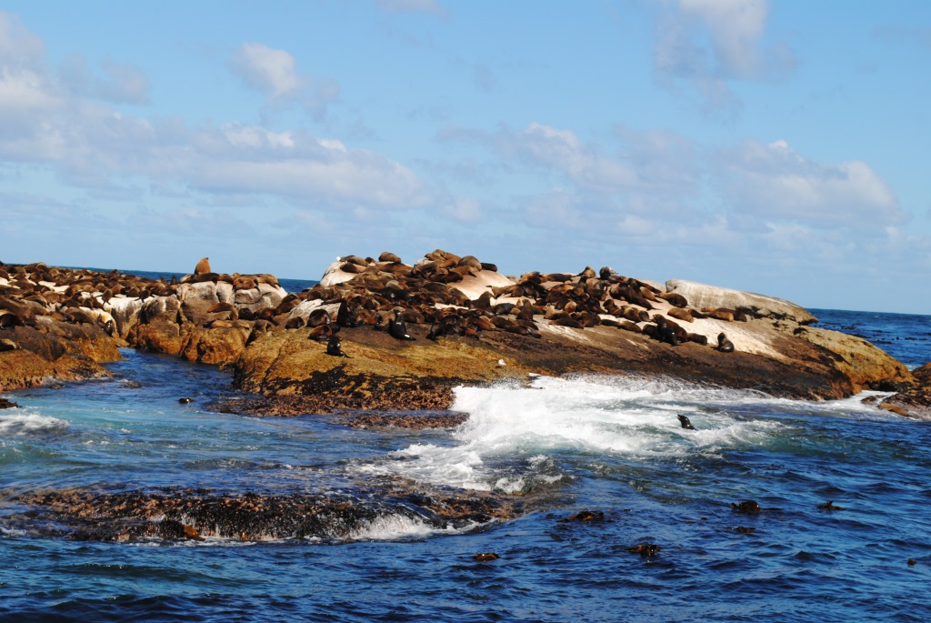 cape-fur-seals