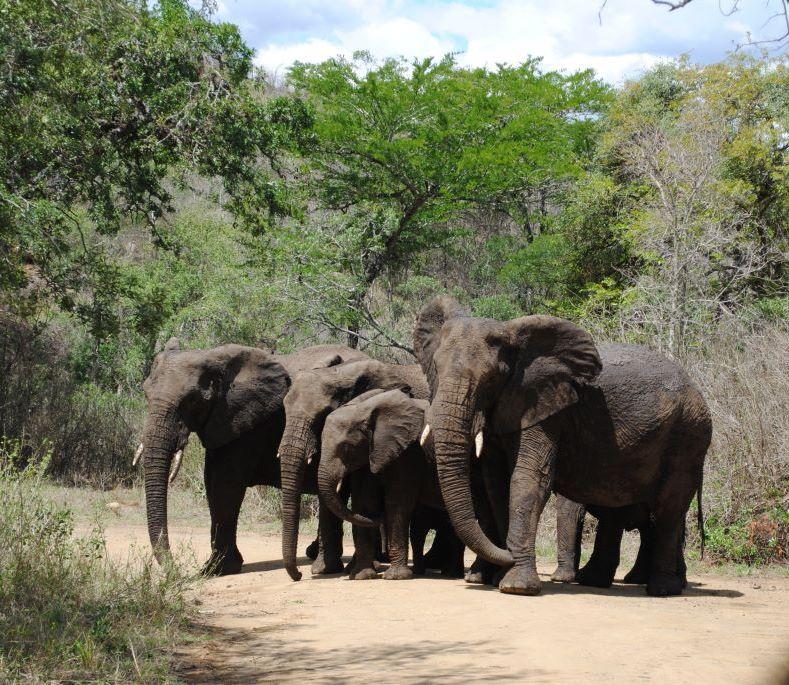 elephant-quartet-Hluhluwe
