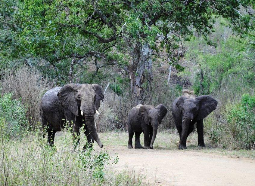 elephant-trio-Hluhluwe