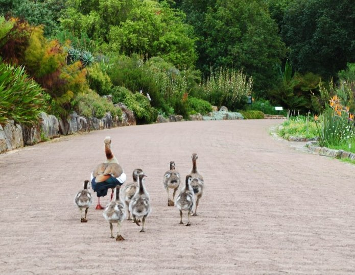 taking-a-stroll-thru-Kirstenbosch