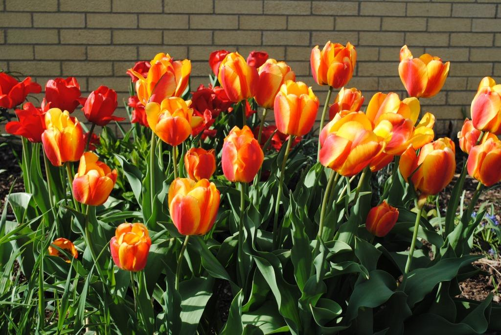 Esther's tulips 2 sm