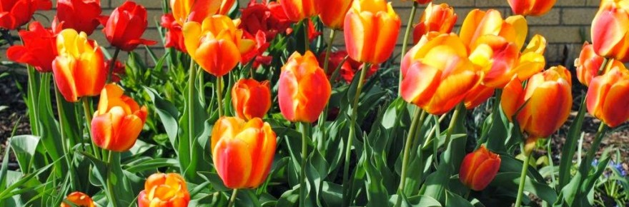Esthers-tulips-2-sm