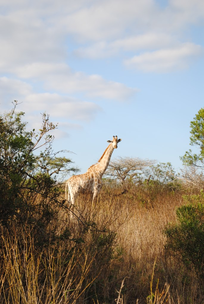 Giraffe-Zulu-Nyala