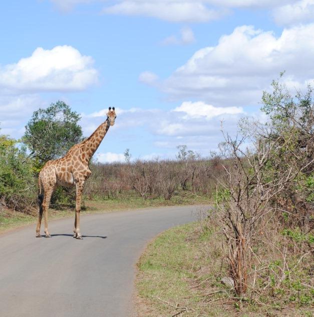 Giraffe-in-Hluhluwe