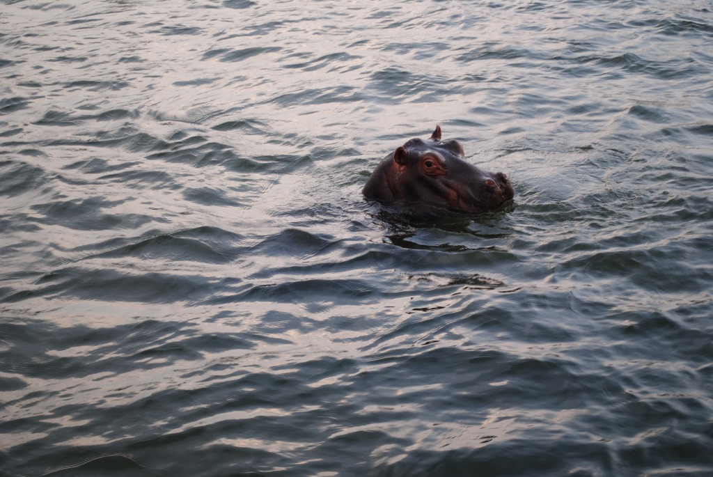 Hippo-in-Zambezi-river