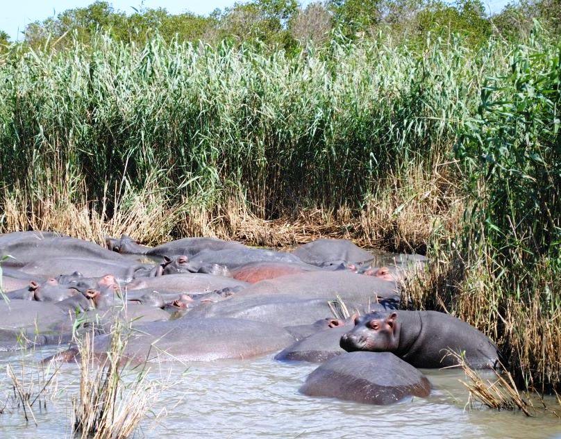 Hippos-St-Lucia