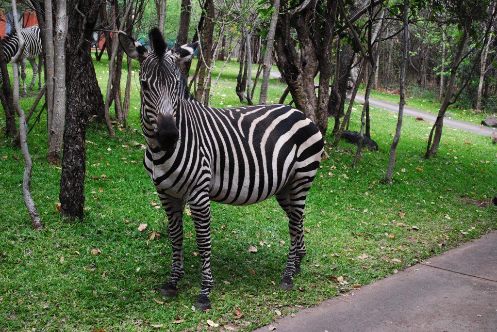 Zambia-zebra