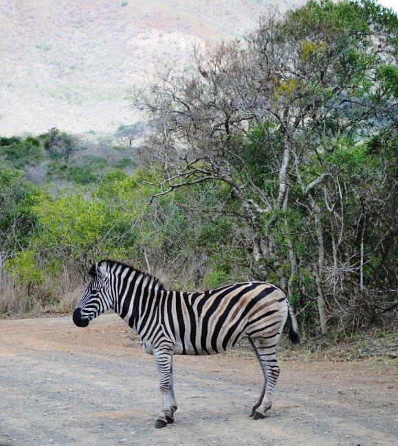 Zebra-in-Hluhlywe