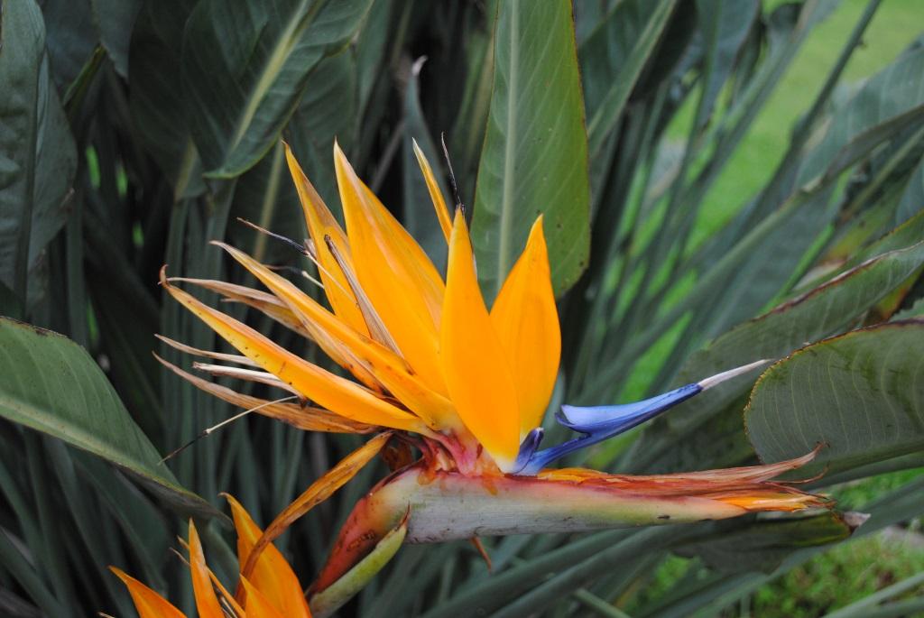bird-of-paradise-Kirstenbosch