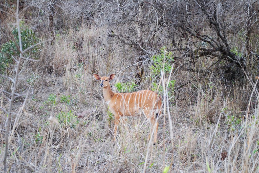female-nyala
