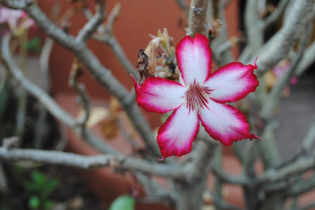 flower-in-Zambia