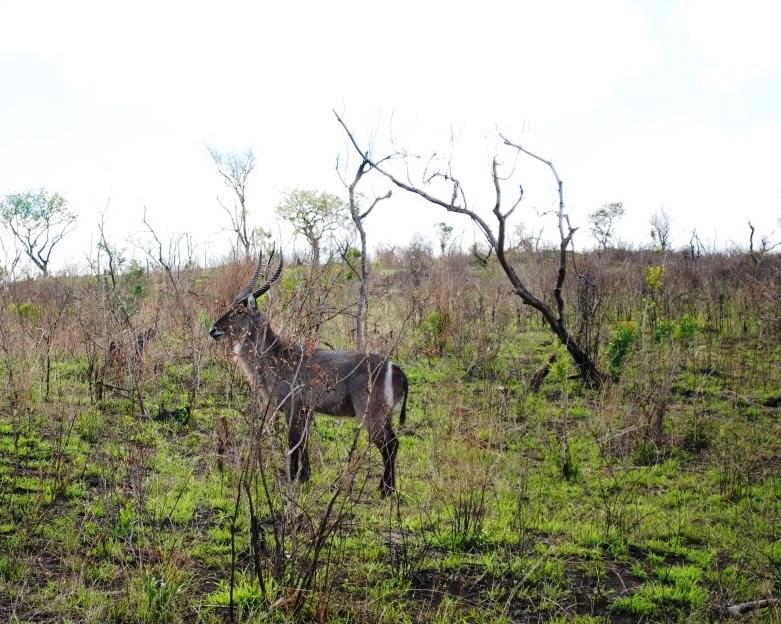 kudu-maybe