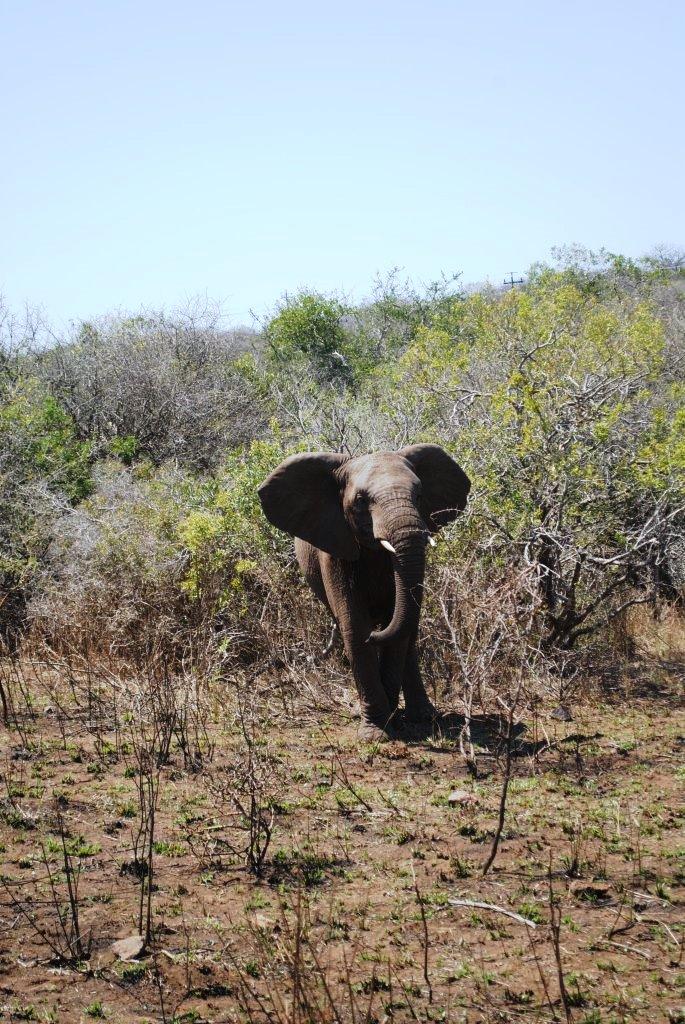 little-elephant-in-Zulu-Nyala