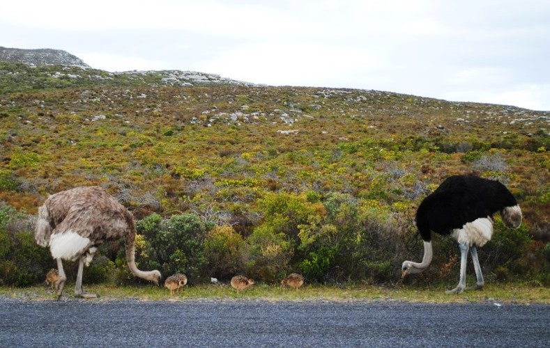 ostrich-family-cape-point