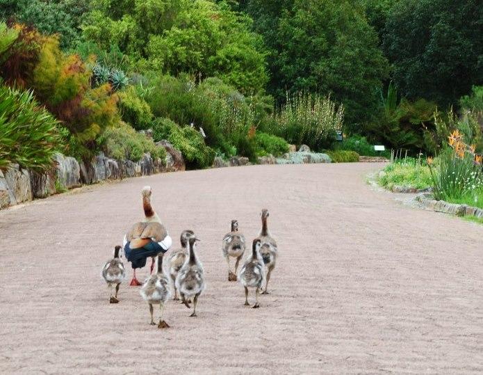 taking-a-stroll-thru-Kirstenbosch