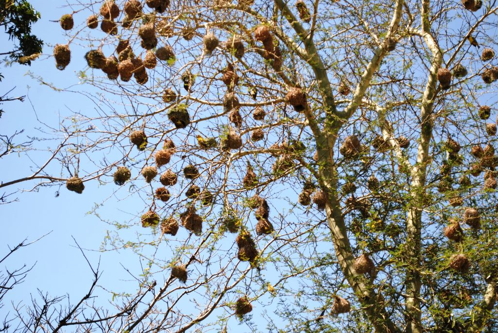 weavers-nests